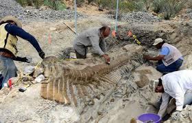 INAH y UNAM encuentran 50 vértebras de la cola de un dinosaurio, mide 5 metros.
