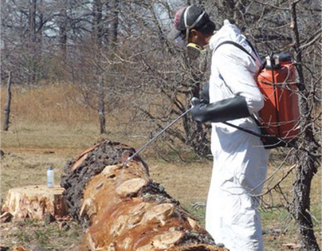 Venderán madera de árboles dañados por plaga
