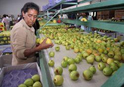 Arteaga celebrará su tradicional Feria de la Manzana