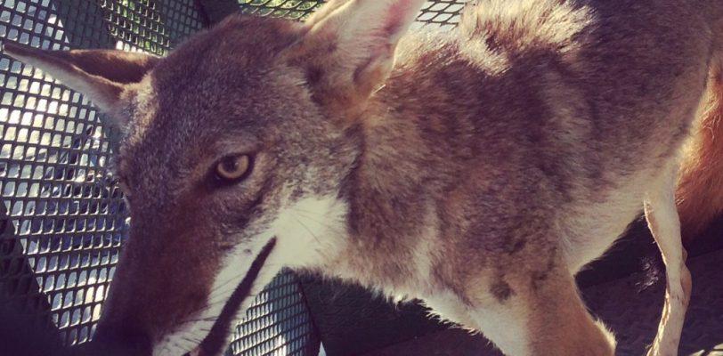 Regresa a su hábitat coyote rescatado en calles de Torreón