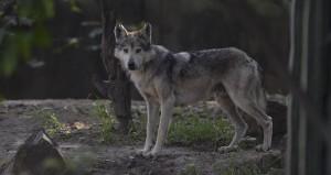 El lobo mexicano, en peligro de extinción. Foto: Cuartoscuro