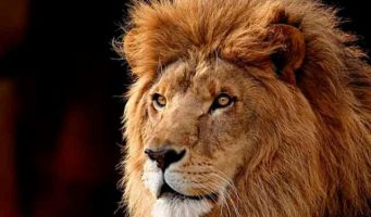 Capturan en Dubai a león que vagaba por las calles
