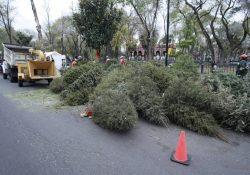 Invita CONAFOR a reciclar árboles naturales de navidad