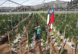 Inauguran en Chile el mayor cultivo de mariguana terapéutica de América Latina