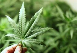 Se pronuncia CANACO en contra de la legalización de la marihuana