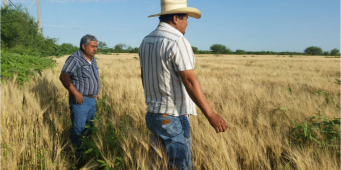 Granizada en Jiménez daña cultivos de trigo