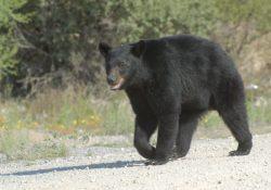 Coahuila tiene la mayor población de osos negros en el país