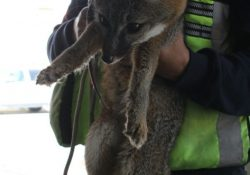 Rescata Bomberos ejemplar de zorra gris; la entrega a Profauna