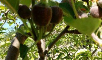 Daña cultivos helada en Arteaga, aplicarán seguro catastrófico