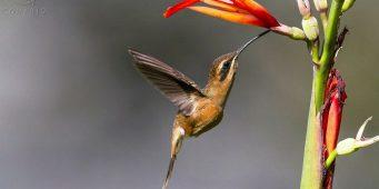 """Rituales de brujería amenazan """"el vuelo"""" del colibrí"""