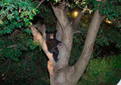 Protege Policía Ambiental a familia de osos