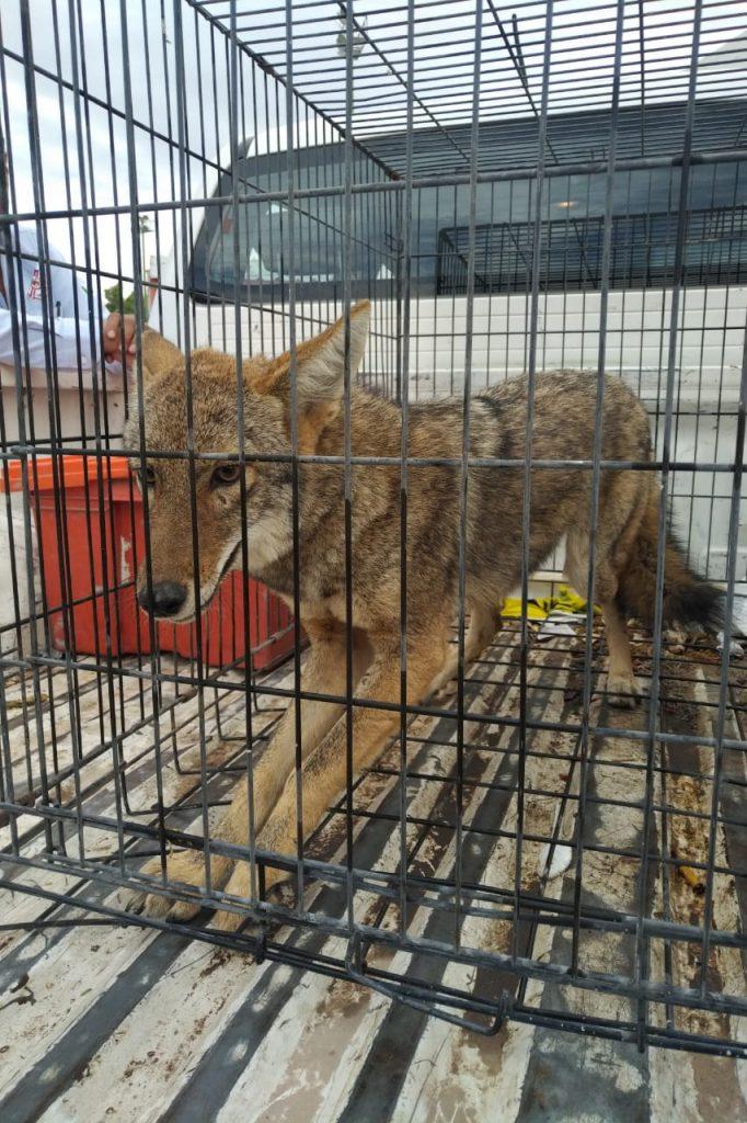 PC rescata un coyote en la Unidad Deportiva Torreón