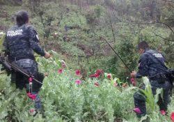 Destruyen  tres plantíos de amapola y mariguana en Jalisco