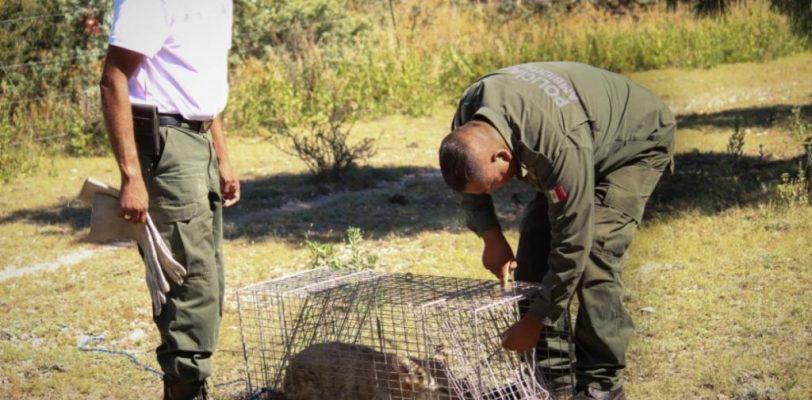 Reubica Policía Ambiental un coyote a su hábitat natural