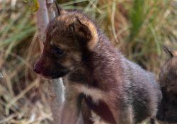 Nacen 8 cachorros de lobo gris Mexicano (Canis lupus baileyi) en el museo del desierto de Saltillo, Coahila