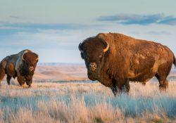 Interpone Coahuila ante PROFEPA denuncia por caza ilegal de bisonte